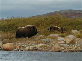 Musk Ox - Click for a larger version