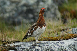 Ptarmigan - Click for larger version