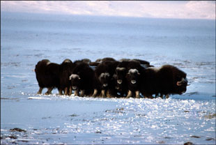 Musk Ox in Winter - Click for a larger version